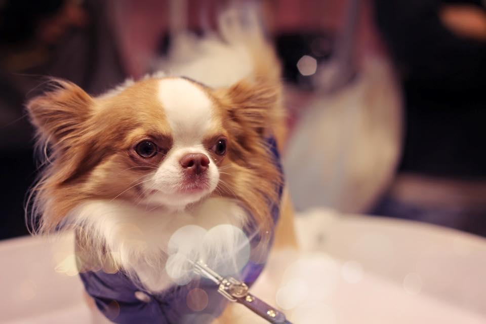 Chihuahua Ciko